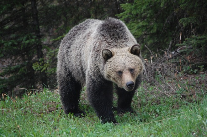 grizzly-bear-659198_1280