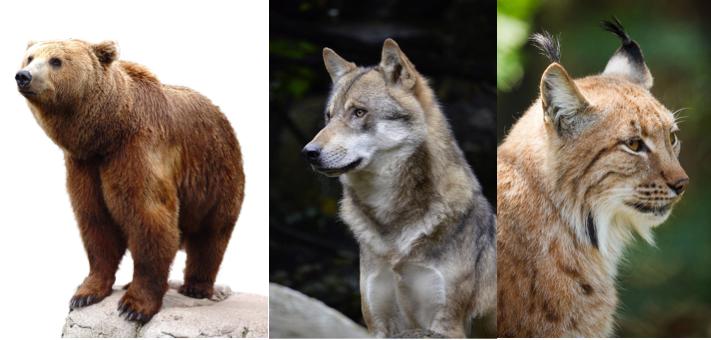 Bär, Wolf und Luchs früher auch von Jägern aus Morschach bejagt und ausgerottet. /   Bear, wolf and lynx formerly hunted by the Morschach hunters anderadicated.
