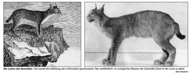 Letzter Luchs Morschach Immoos