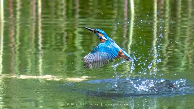 Eisvogel-auftauchen-Flügel-ausgebreitet-La-Sauge_DSC7639-Signet.web
