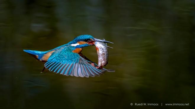 Eisvogel-LA-Sauge-Flug-mit-Fisch-ohne-Kopf-dunkel_DSC9484-ohne-Hilz-Signet-web