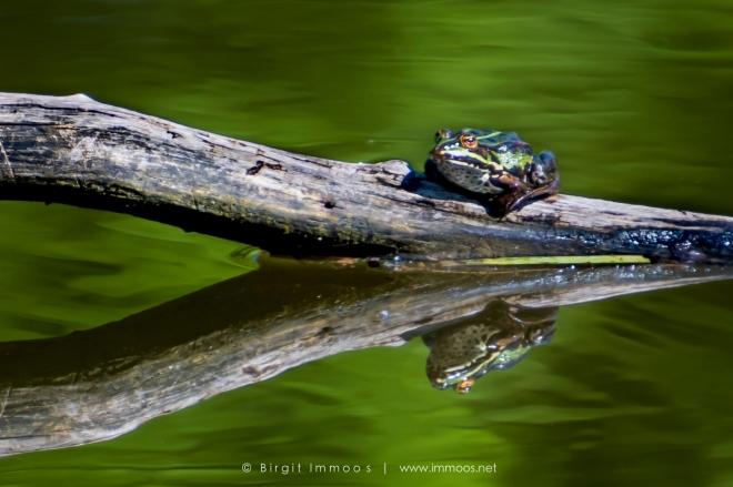 Frosch-auf--Stamm-im-Wasser-dunkel-gold-grün-La-Sauge-Signet-web