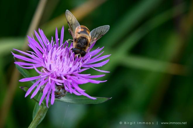 Schwebefliege-auf-Lila-Flockenblume-Version-2_DSC8492-Signet-web