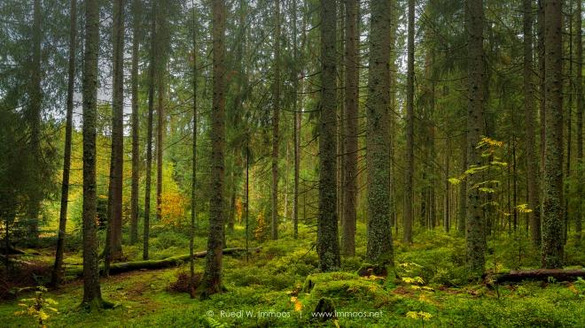 Waldszene-Schwarzwald-Titisee-Bruggerwald_DSC0092-a-Signet-web
