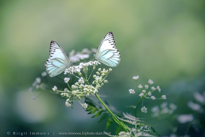 Composing-Schmetterlinge-Wiesenkerbel_DSC6040a-Signet-web