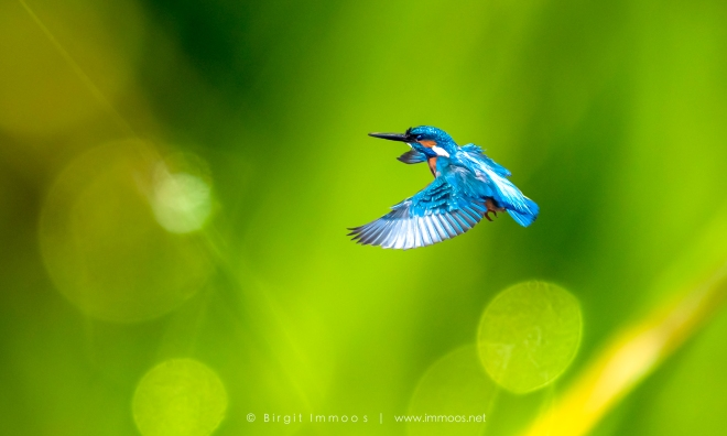 Eisvogel-fliegend-bokeh-Signet-web