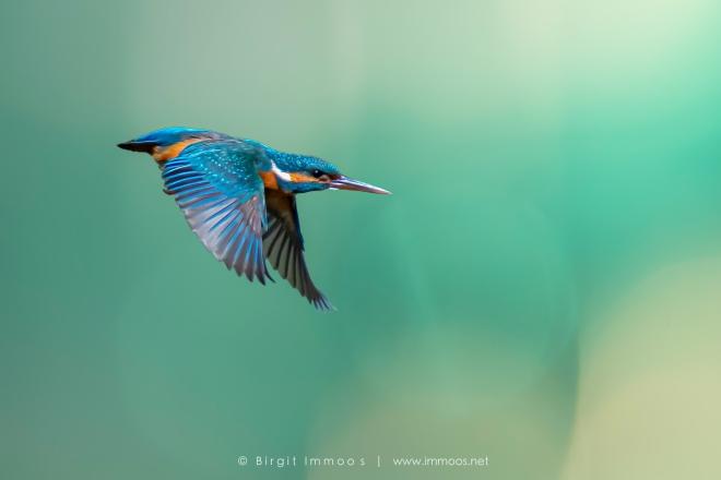 Eisvogel-Flug-vor-blaugrünem-HG_DSC7447-HGE-Signet-web