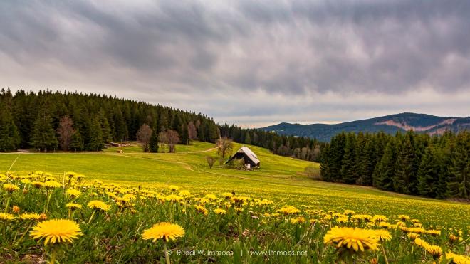Schwarzwaldhof-Löwenzahnwiese-besser-von-2017DSC_3155-a-Signet-web