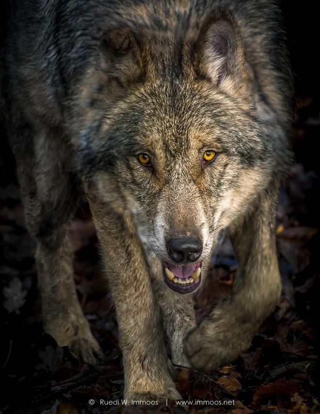 Tierpark-Langenberg--Wolf-schleichend-Kopf-vorne-unten-breit-_DSC7282-Signet-web-2-2