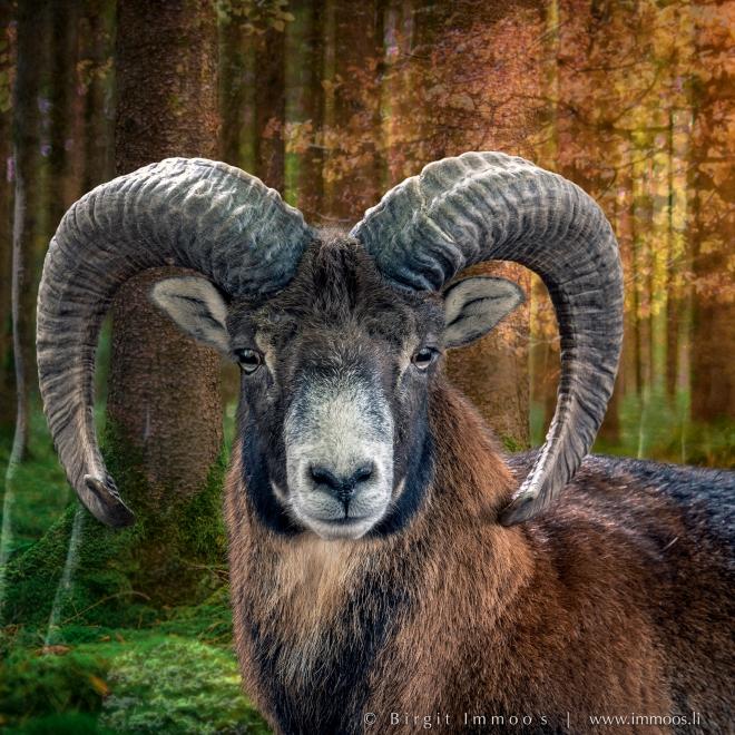 Tierpark-Mufflon-freigestellt_DSC9977--Signet-web