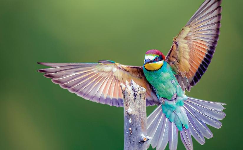 Vogelfotografie: Bienenfresser fotografieren